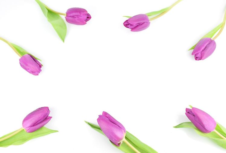 tulip flower Tulip Tulips🌷 Beautiful Flora Tulip Flower Backgrounds Space Object Gift Card Top View Blooming Pink Color Flower Purple White Background Green Color Petal Springtime Nature Flower Head Close-up Plant Studio Shot