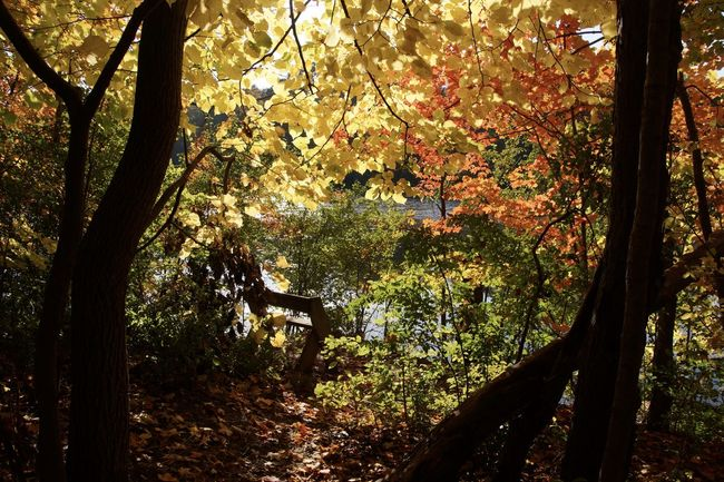 I came across this glorious scene today at the nature reserve. It had been cloudy most of the day, but as I came near the river, the sun came out and lit everything up so beautifully. Was well worth the hike! Autumn Autumn Leaves Beauty In Nature Day EyeEm Nature Lover Fall Fall Colors Growth Nature Non-urban Scene Remote Scenics Solitude Tranquil Scene Tranquility Tree WoodLand