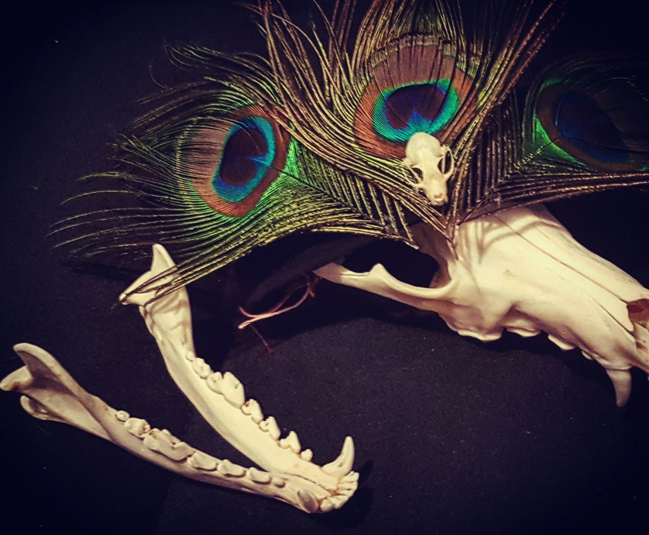 Close-up No People Skull Cayote Animal Skull Bones Vulture Culture Peacock Feather Peacock Feathers Bat Skull Headdress Headband Soft Soft Grunge Mandibles Macabre Art Dark Photography Dark Art Costume YYC Calgary Skull Art