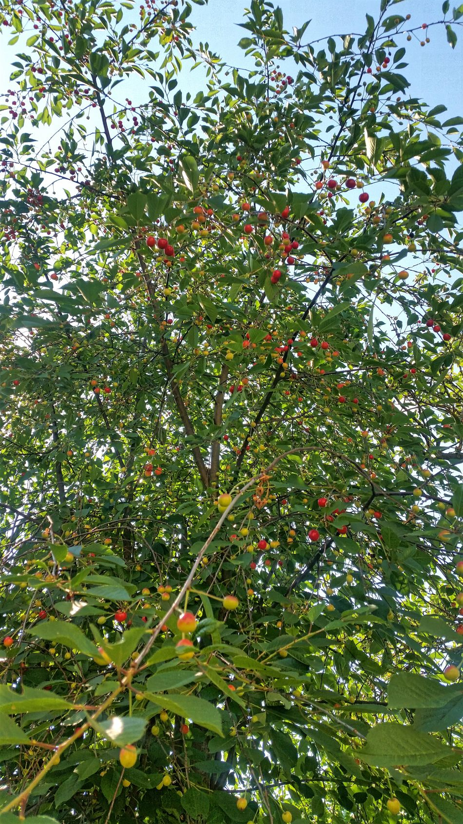 Abundance Beauty In Nature Branch Cherry Tree Freshness Green Color Growth Low Angle View Nature No People Outdoors Plant Red Sky Sour Cherry Tree