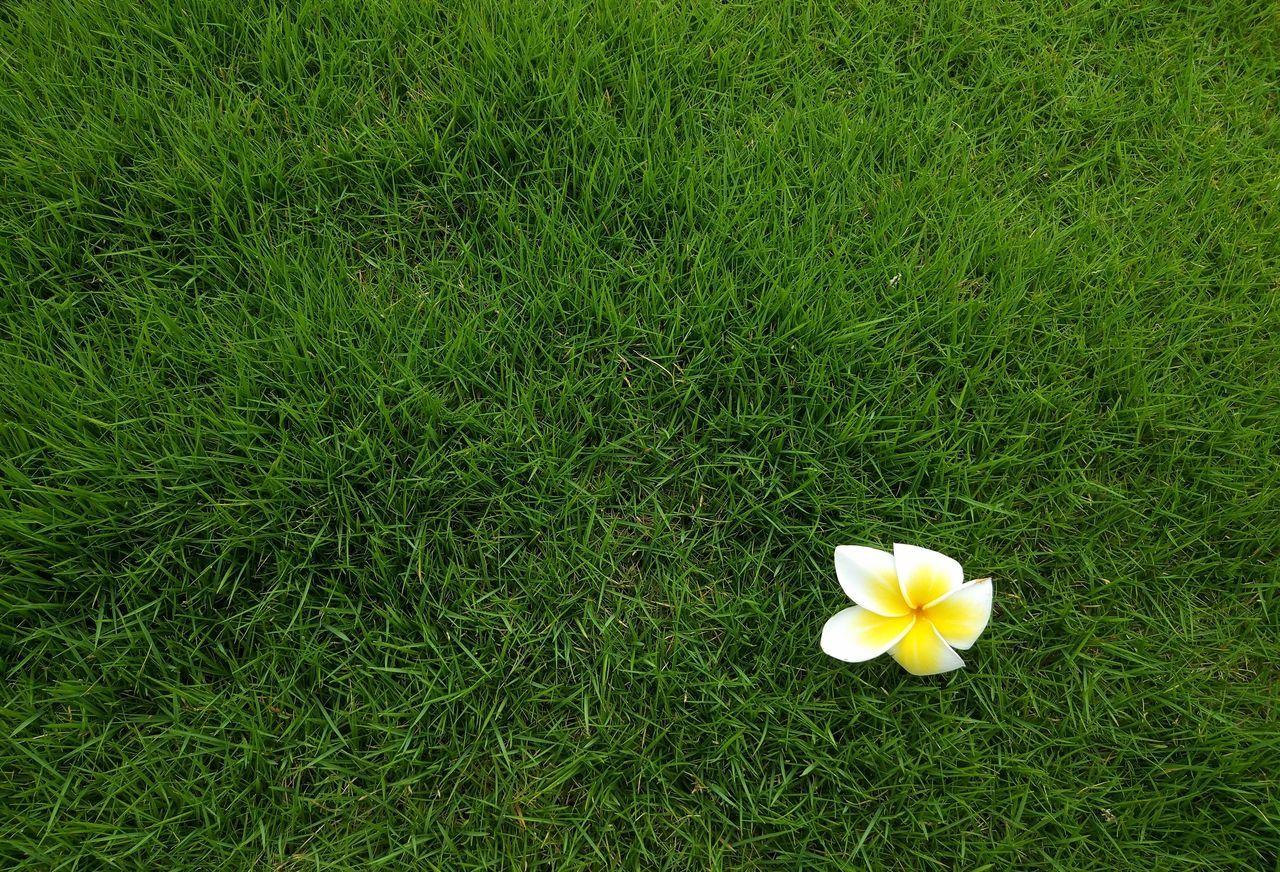 鸡蛋花 Flower Grass Growth Petal High Angle View Flower Head Green Color Nature Beauty In Nature Field Fragility Outdoors No People Day Frangipani Freshness Yellow Blooming Close-up