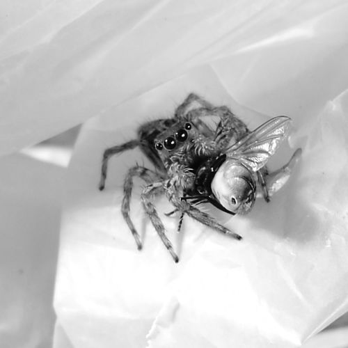 Insect Close-up Confined Space Life EyeEmNewHere The Portraitist - 2017 EyeEm Awards Perspective Art Is Everywhere The Photojournalist - 2017 EyeEm Awards Spider Fly Survival Food Web Black And White Friday