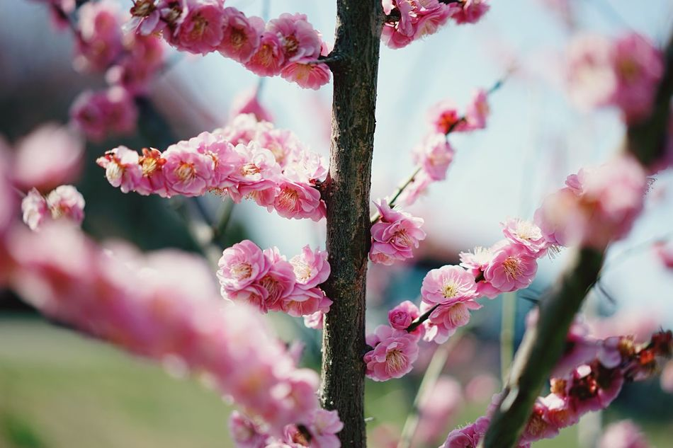 Pink Color Flower Freshness Growth Nature Beauty In Nature Fragility Petal Close-up Flower Head No People Springtime Twig Outdoors Day Blossom Rhododendron Plum Blossom Branch Tree Spring Flowers Japanese Cherry Blossoms