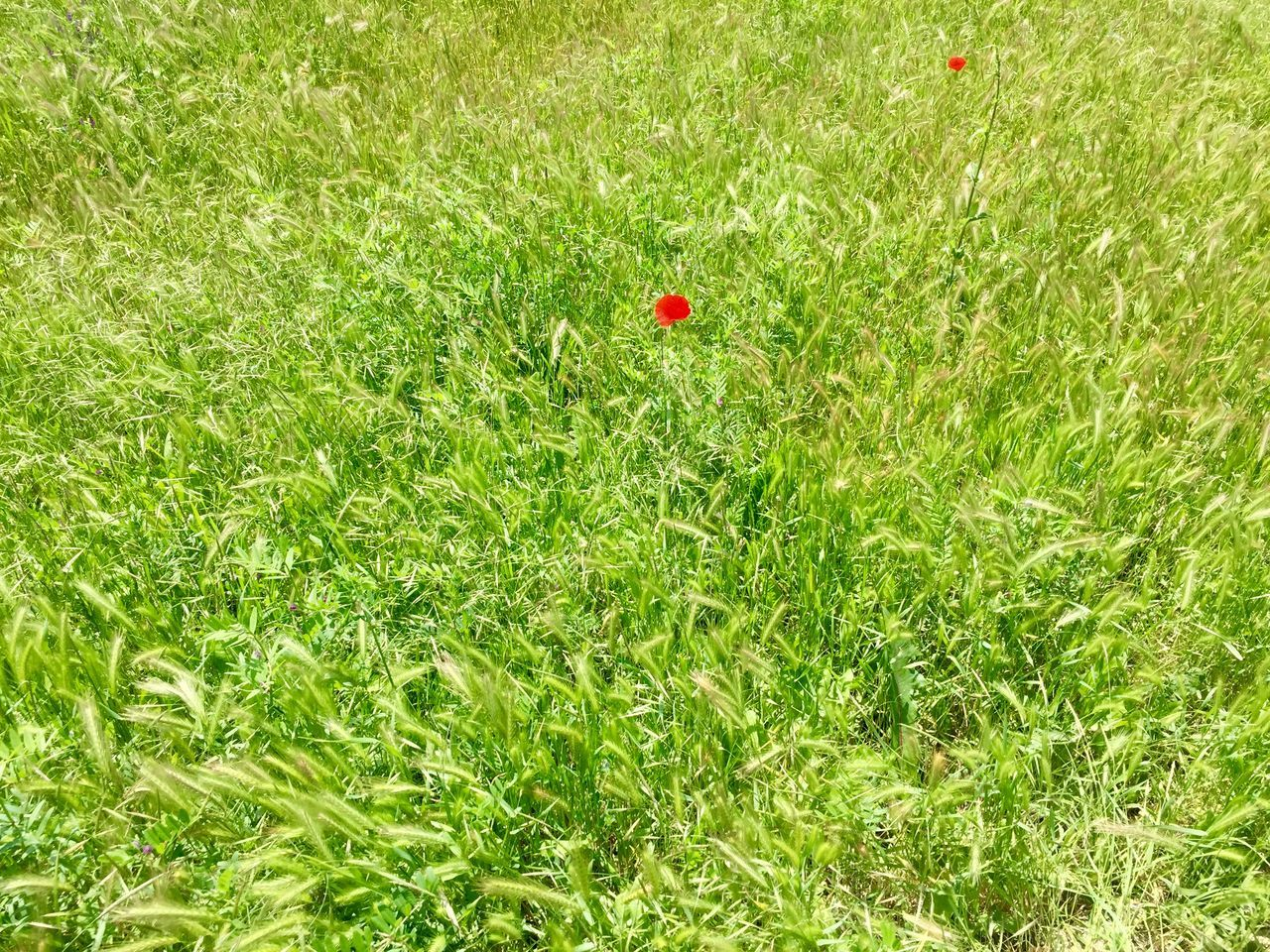 Beauty In Nature Day Field Field Flower Freshness Grass Green Green Color Green Field Growth Ladybug Meadow Nature Nature No People Outdoors Outdoors Photograpghy  Poppy Red