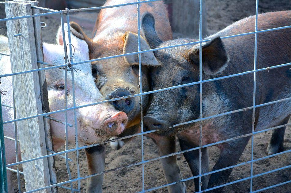 this little piggy Animal Head  Animal Themes Farmlife Pigs Snort Three Little Pigs