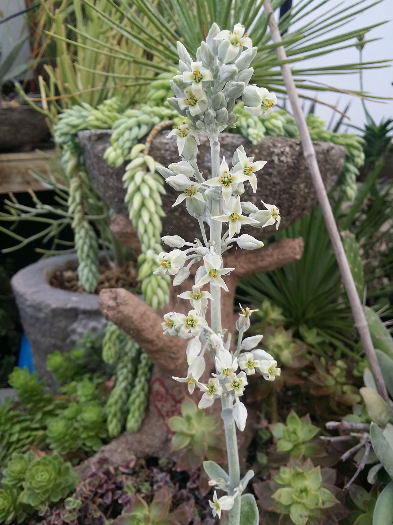 Winter Greenhouse Tranquility Hill Farm Clifton Springs Ny Lotus Temple Kalanchoe Flapjack Flower.