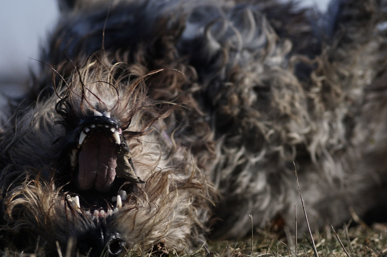 Upside down 😂 😂 😂 Close-up Outdoors Dog Life Looking At Camera Dog Photography Irish Wolfhound Dogs Of EyeEm Dogs Playing Irishwolfhound Willi The Wolfhound Animal Themes Domestic Animals Dog Teeth Dog Tongue Funny Faces Funny Dog