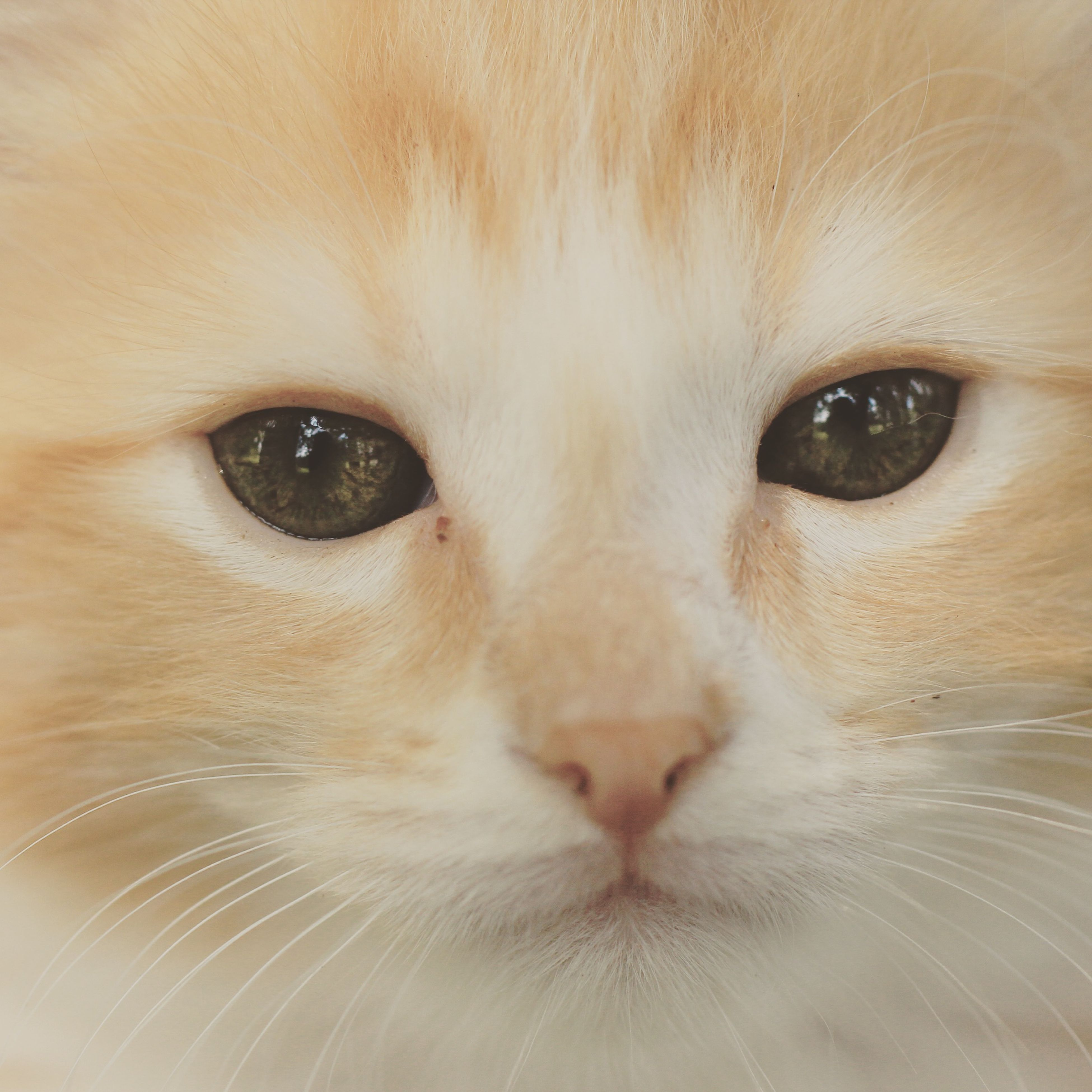 one animal, animal themes, pets, domestic animals, close-up, domestic cat, full frame, animal eye, cat, looking at camera, portrait, backgrounds, animal head, mammal, animal body part, part of, whisker, feline, extreme close-up, indoors