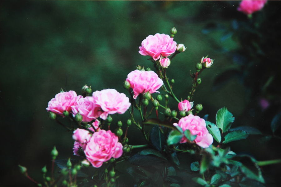 Beauty In Nature Blooming Blossom Flower Flower Head Green Growth In Bloom Nature Petal Pink Pink And Green Pink Color Roses