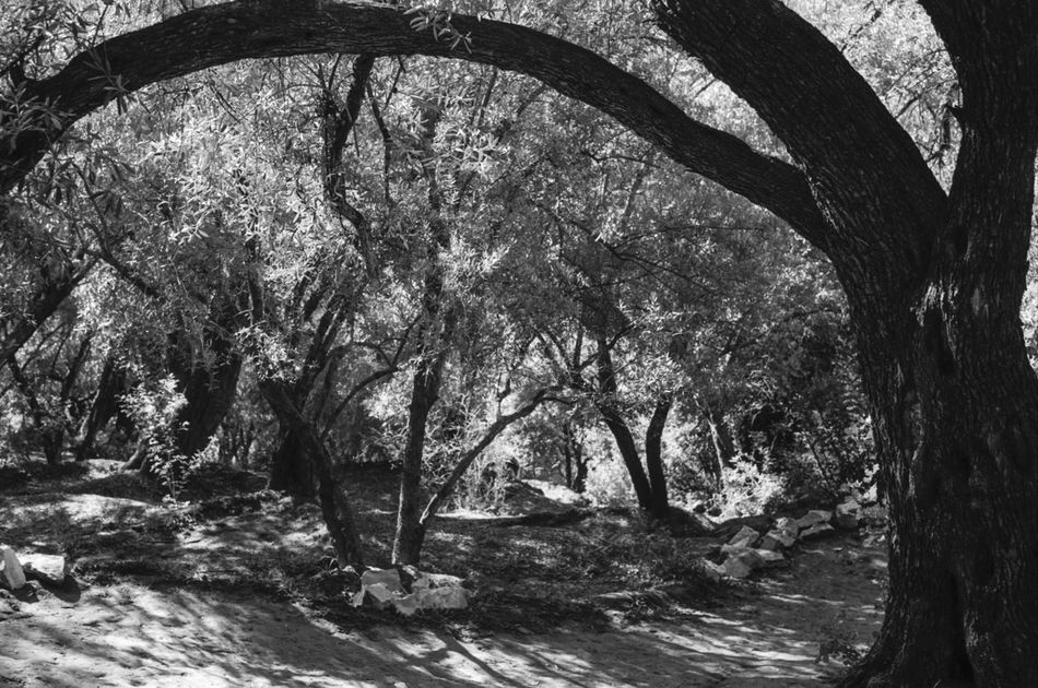 On the way down to the waterfalls of Ouzoud in Morocco Beauty In Nature Blackandwhite Bw Day Digital Growth Landscape Light Light And Shadow Morocco Nature NikonD3100 No People Olivetree Outdoors Ouzoud Ouzoud Falls Scenics Shadow Shadows & Lights Silence Travel Destinations Tree Tree Trunk Trees