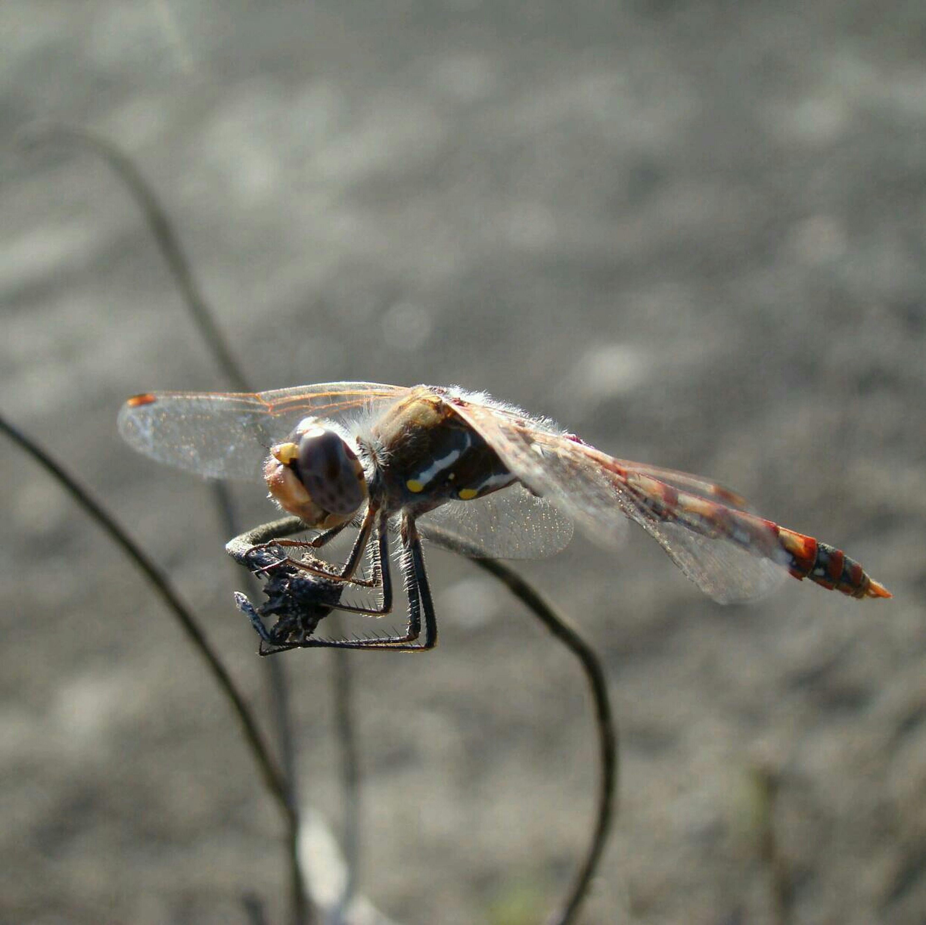 one animal, animal themes, insect, animals in the wild, wildlife, focus on foreground, selective focus, close-up, full length, day, outdoors, nature, zoology, dragonfly, no people, black color, high angle view, spider, side view, two animals