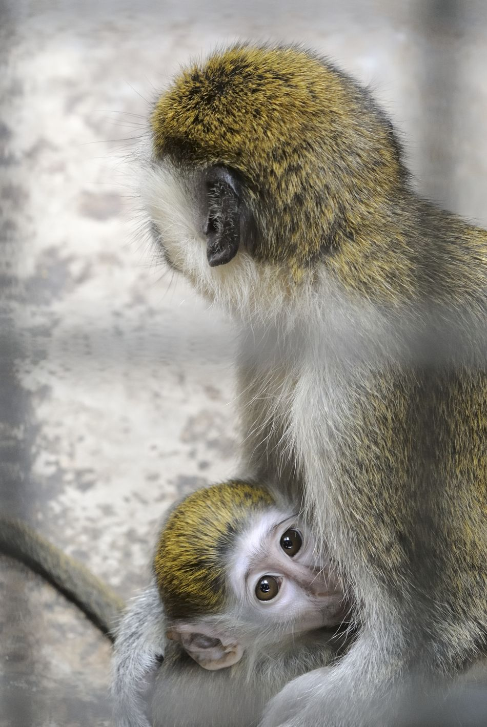 Beautiful stock photos of affe, Animal Family, Animal Themes, Animal Wildlife, Animals In Captivity