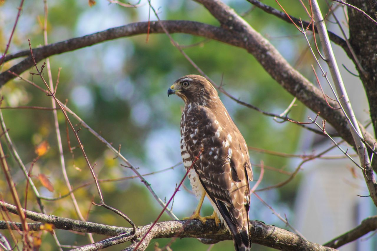 One Animal Bird Perching Animals In The Wild Animal Themes Nature Outdoors Tree Branch Animal Wildlife Day No People Close-up Hawk