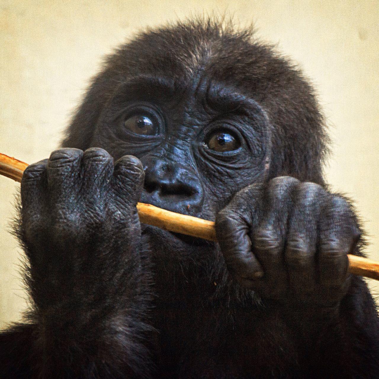 Beautiful stock photos of gorillas, Animal Themes, Animals In The Wild, Close-Up, Gorilla