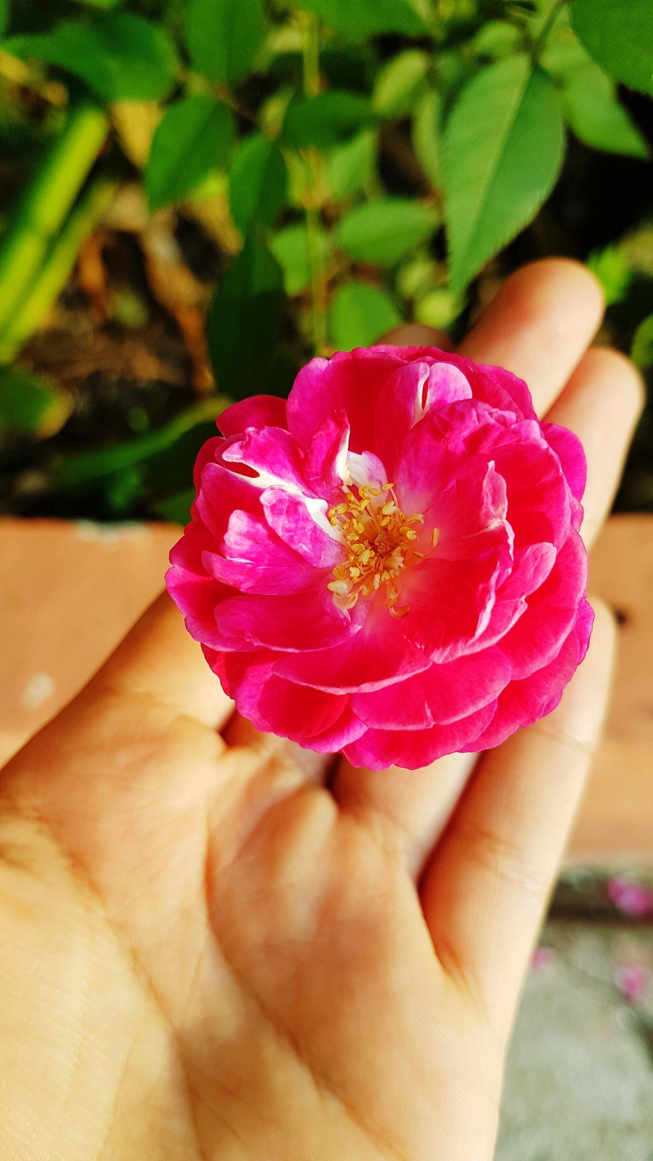 lo tenemos en nuestras manos Nature_collection Flor Nature Flower Flora Floralperfection Lindo  Nature Naturaleza🌵🌻🎶 Naturaleza🌾🌿 Naturaleza Rosas🌹🌹 Rosas Rosa Rosas Bonitas❤️🌹 Rosado Rosas Rojas Day Flower Head