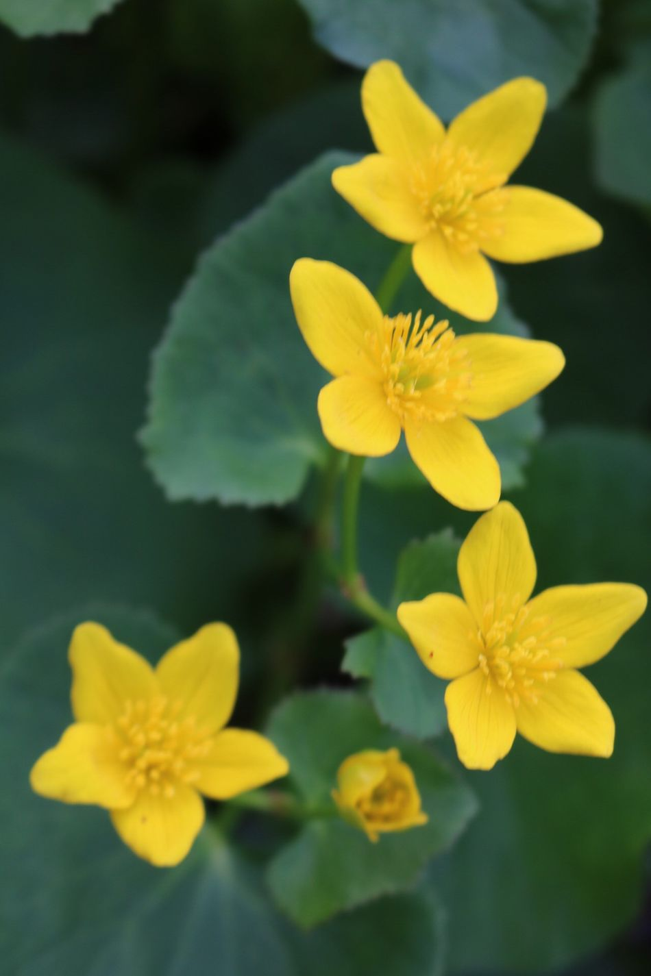 Marsh Marigold Pure Michigan Flower Petal Yellow Fragility Flower Head Beauty In Nature Growth Nature Freshness Plant Blooming Close-up No People Day Outdoors Walk In The Woods Beauty In Nature Growth Plant