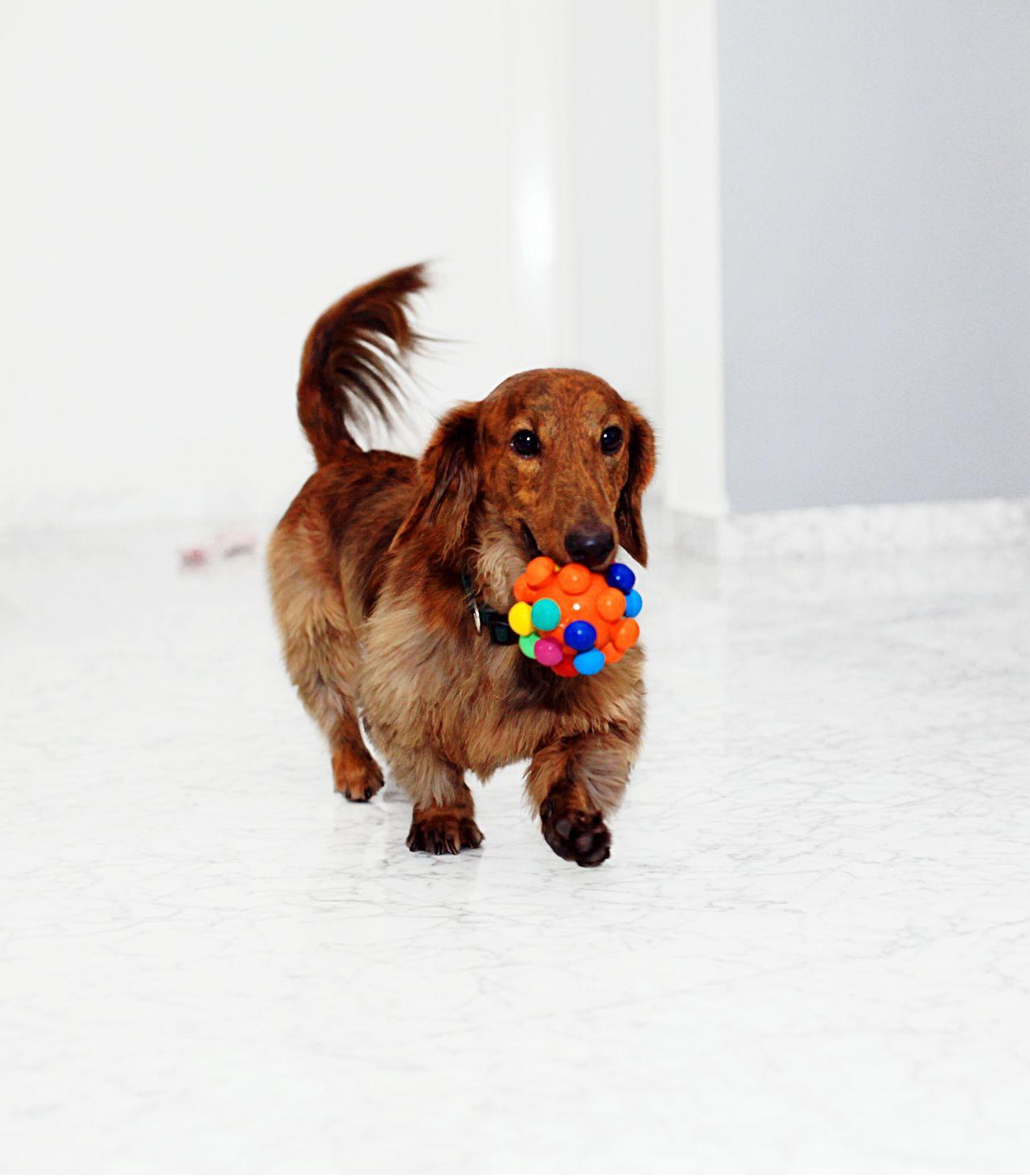 I Love My Dog Pets Corner Pet Photography  Dachshund Pet Dog Love Cute Pets Pets