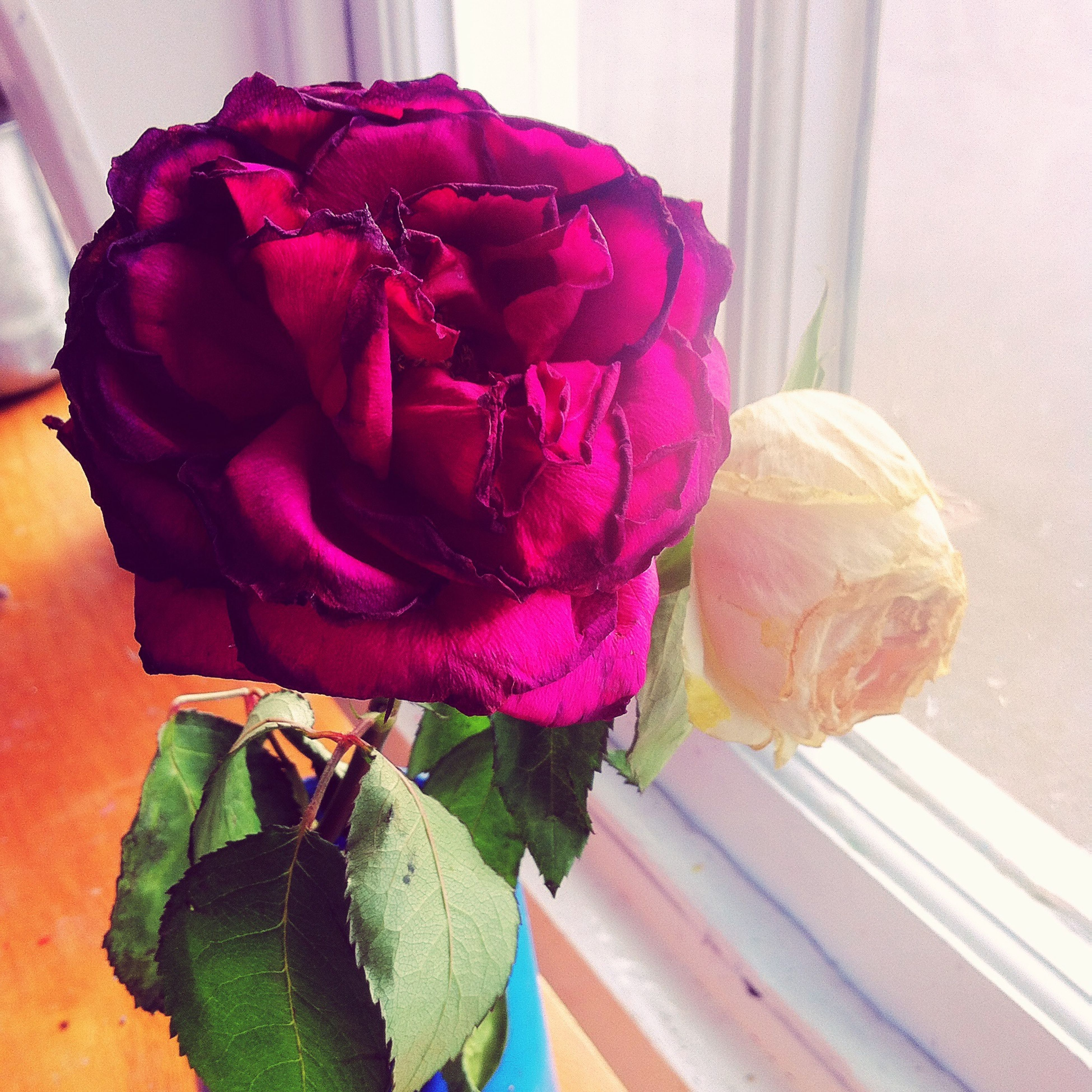 flower, petal, flower head, rose - flower, fragility, freshness, indoors, close-up, beauty in nature, rose, nature, single flower, pink color, plant, growth, table, vase, no people, wood - material, wall - building feature