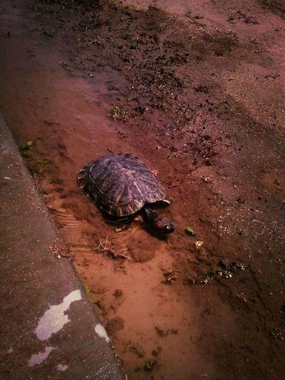 My turtle franklin
