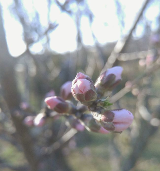 Tree Spring Flowers Fwjphotos Beautiful Nature Pink Flower Pink Budding Tree Springtime Outdoors Spring Fresh Nature Garden Plant Garden Photography Natural Garden Floral Nature Photography Bloom Flower New Life Pear Blossom Easter Ready Blooming Pivotal Ideas