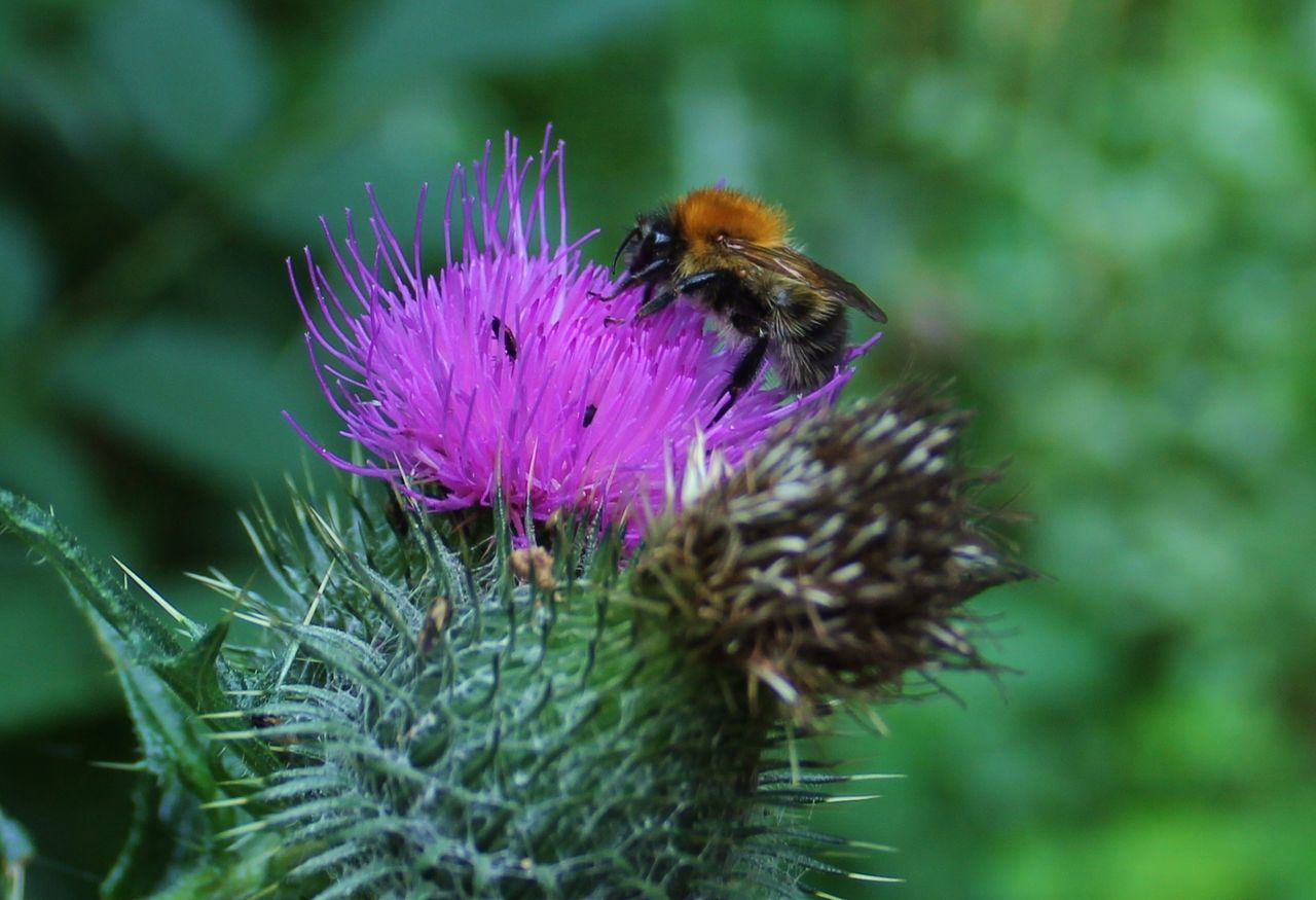 insect, flower, animal themes, animals in the wild, purple, one animal, nature, bee, beauty in nature, growth, fragility, no people, day, outdoors, plant, pollination, animal wildlife, focus on foreground, close-up, freshness, bumblebee, thistle, flower head
