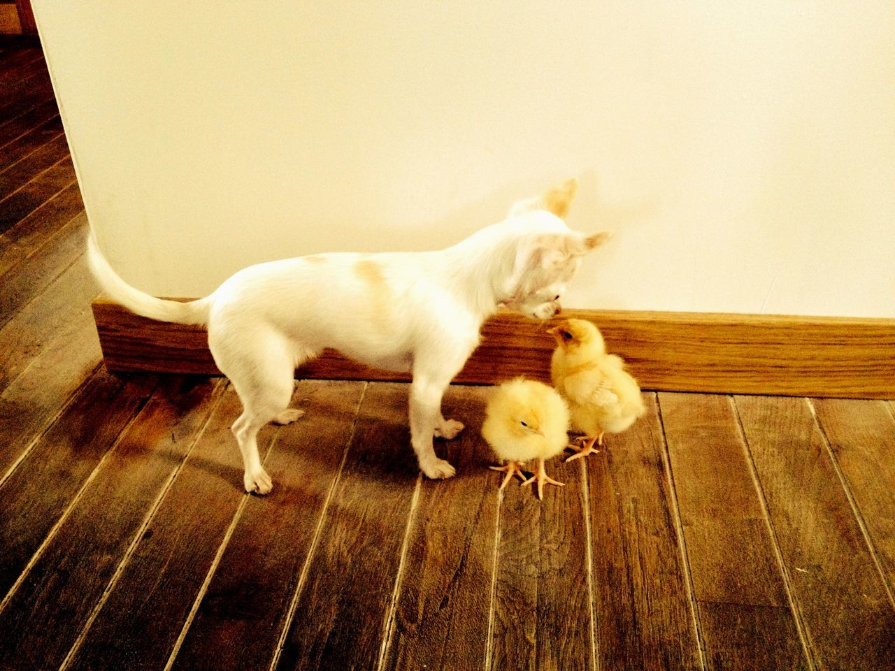 Chihuahua Staring Baby Chickens On Hardwood Floor