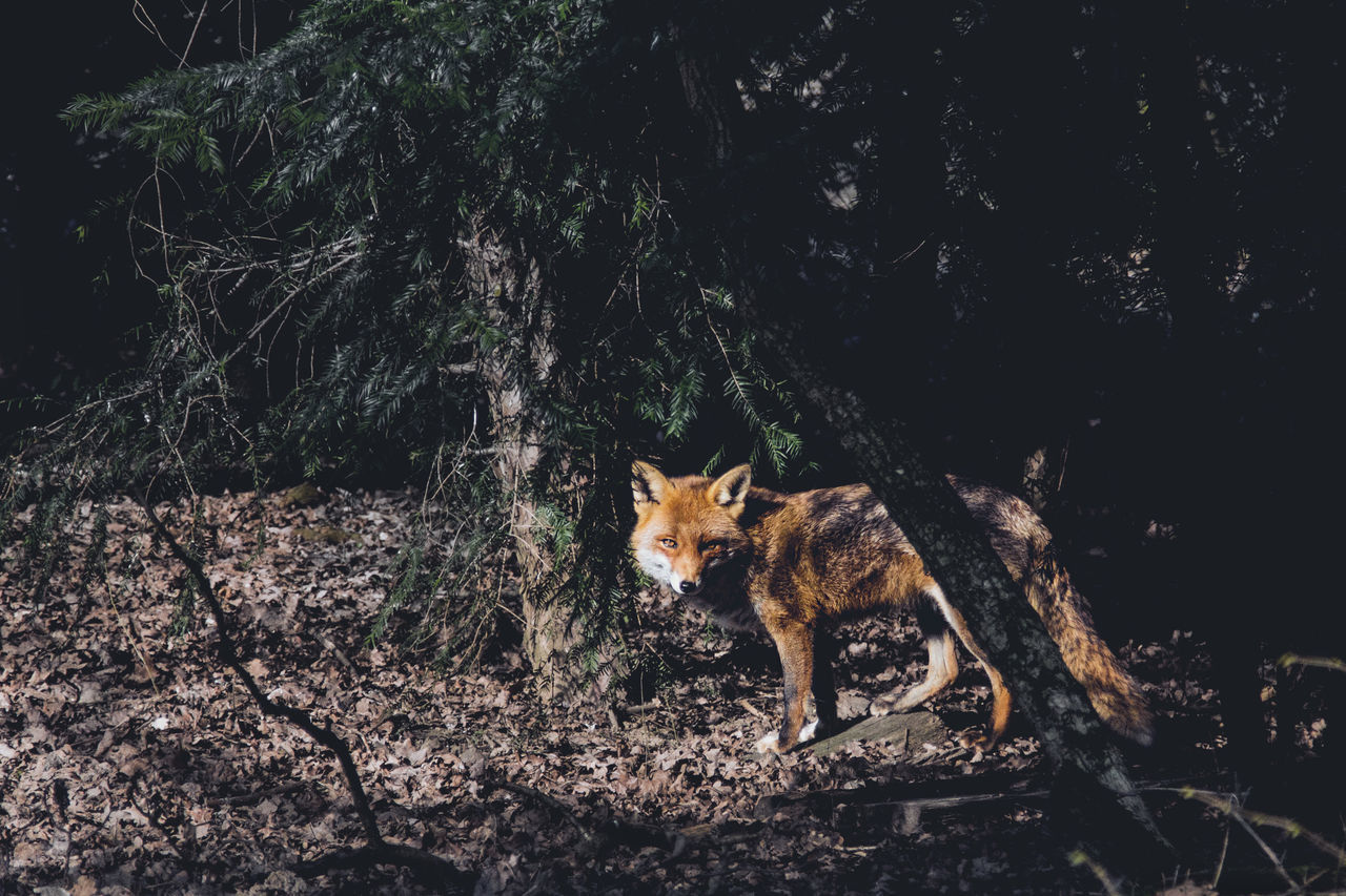 lonely but never alone. // Animals Wildlife Nature Fox Forest
