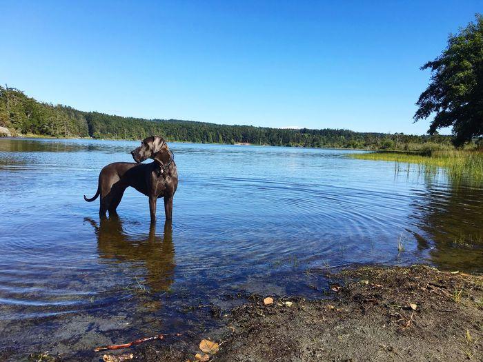 Trudy taking a moment in Cranberry Lake . Great Dane Big Dog Blue Great Dane Washington Park