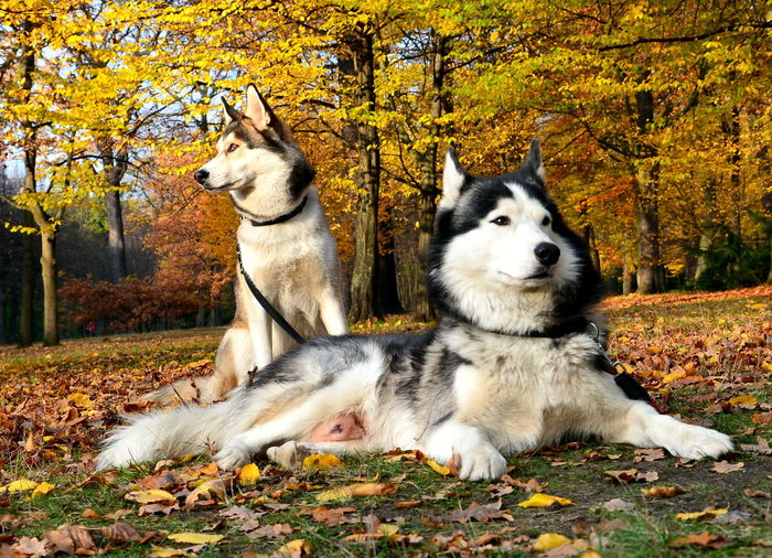 Husky Animal Themes Domestic Animals Pets Dog Outdoors Autumn Tierfotografie Hundeliebe Berlin Photography Schäfermix Dogs Of EyeEm Herbststimmung Herbst Indian Summer