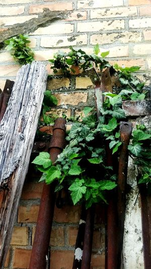 Beauty In Nature Brickstones Brickwall Creeper Plant Green Color Ivy Leaf Nature No People Old Plant Wall Wood - Material Wooden Rusty Iron Pole