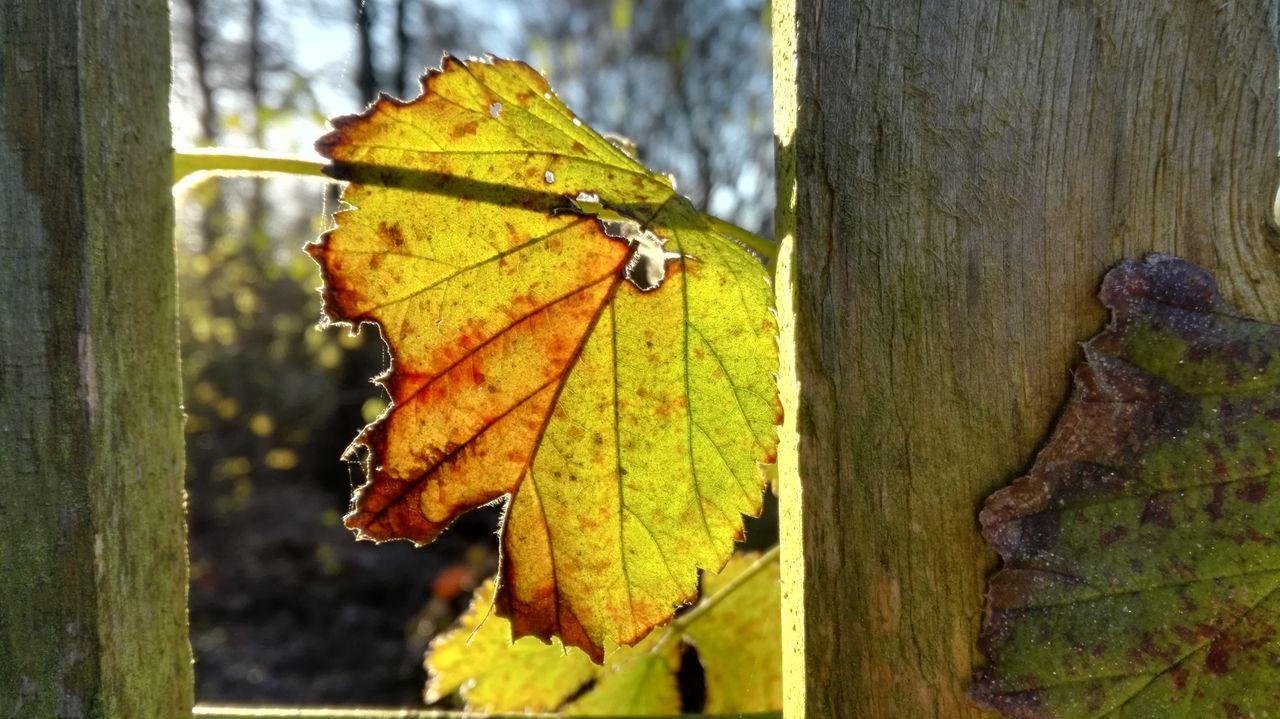 Leaf Close-up Nature Autumn Herbst Herbststimmung Beauty In Nature Gartenzaun Fence