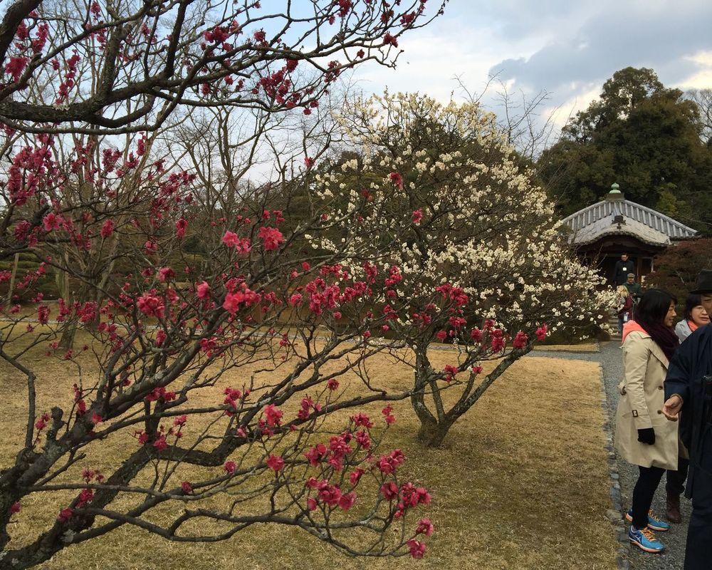 梅 Plum Blossom Kyoto Flowers Pink February