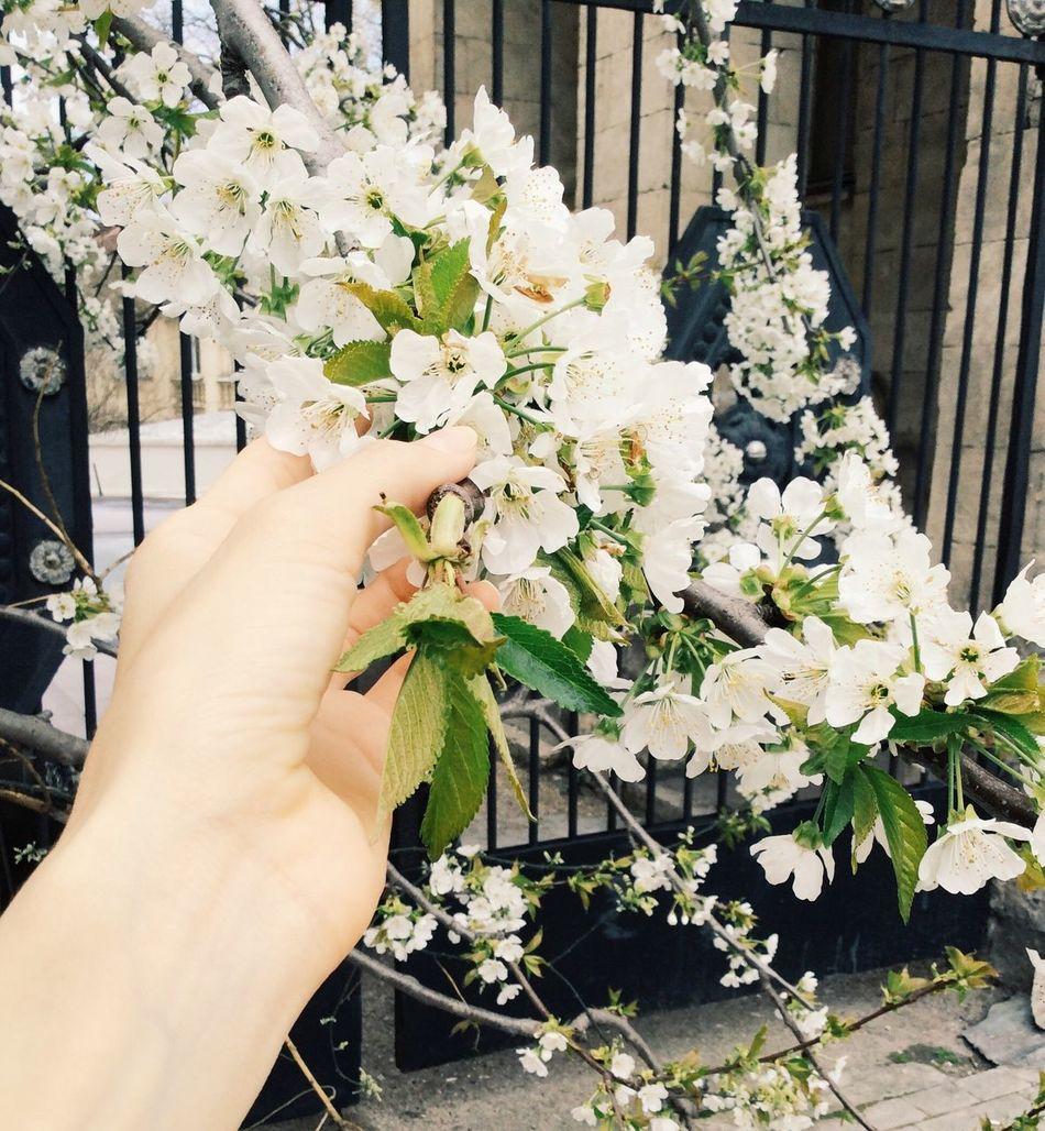 Vscocam Flower White Color яблоня Outdoors White Crimea Sevastopol