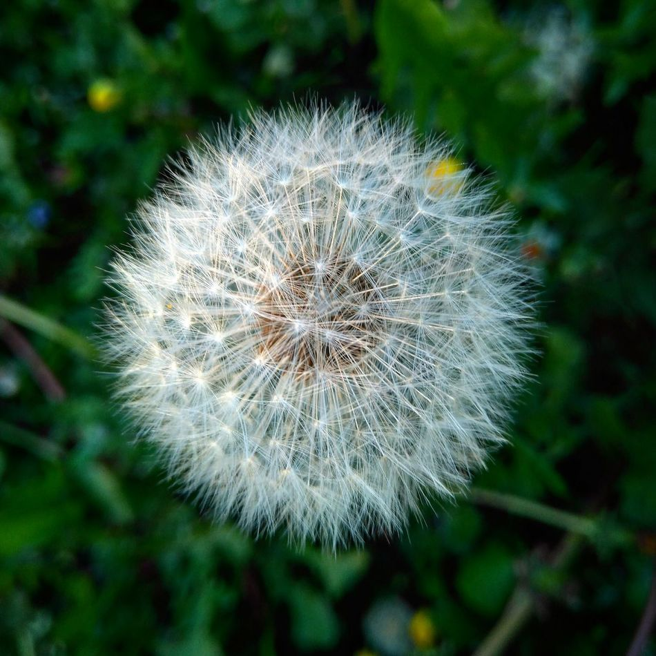 Flower Dandelion Fragility Nature Plant Beauty In Nature Day Textured  Beautiful Peace Love Naturelover Loveit Followme Awesome Amazing Sinfiltros Nofilter Photooftheday Photo Photograph Goodvibes Photography