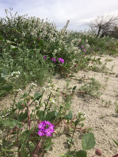 Flower Growth Nature Beauty In Nature Plant Blooming Outdoors Desert Flower
