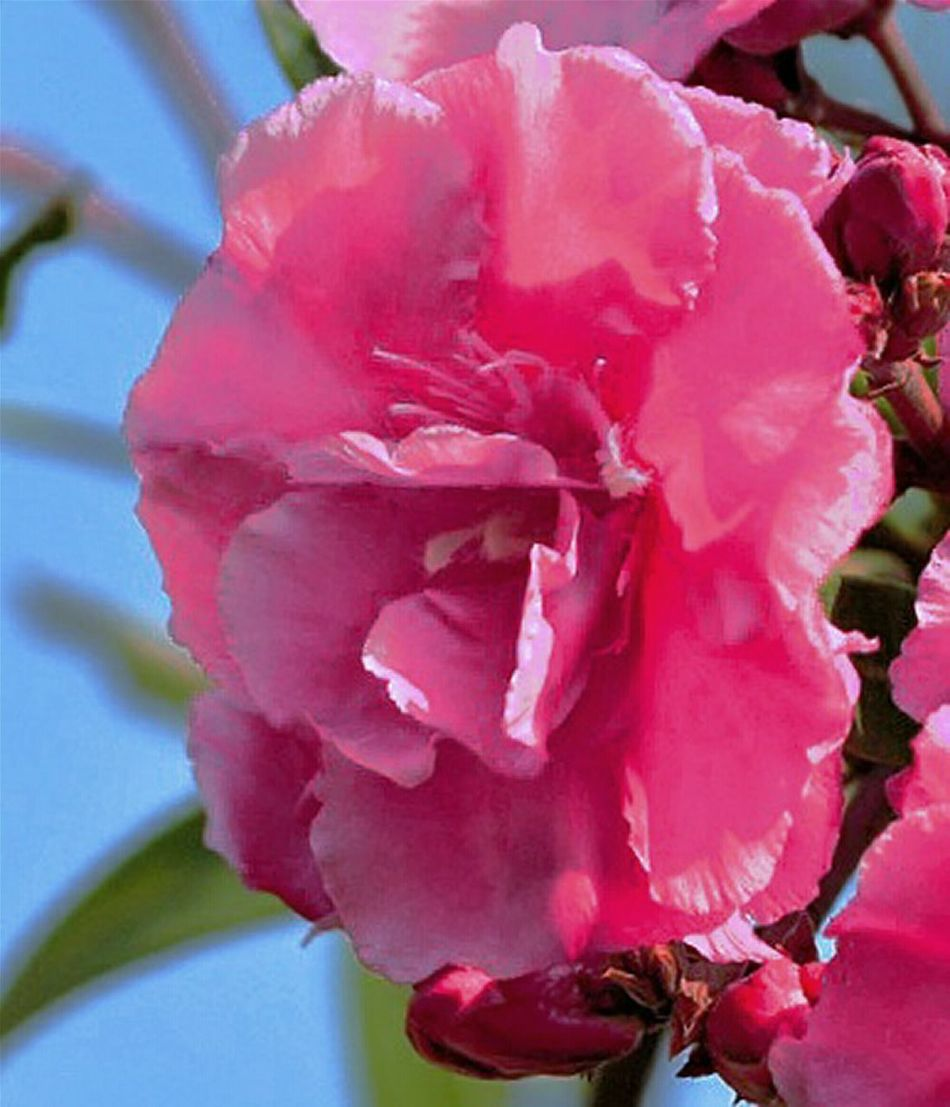 Extreme Edit Painting Effect Photo Art Flower Nature Freshness Petal Beauty In Nature Flower Head Growth Plant Fragility Close-up Water No People Outdoors Day Rhododendron Digital Painting
