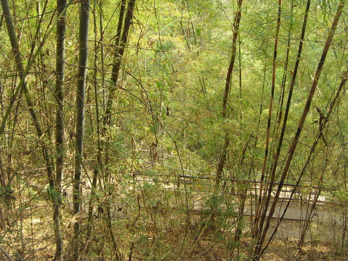 bamboo along walk way Day Dry Field Forest Grass Green Green Color Growing Growth Mystery Nature No People Outdoors Plant Remote Tranquil Scene Tranquility Tree Trunk