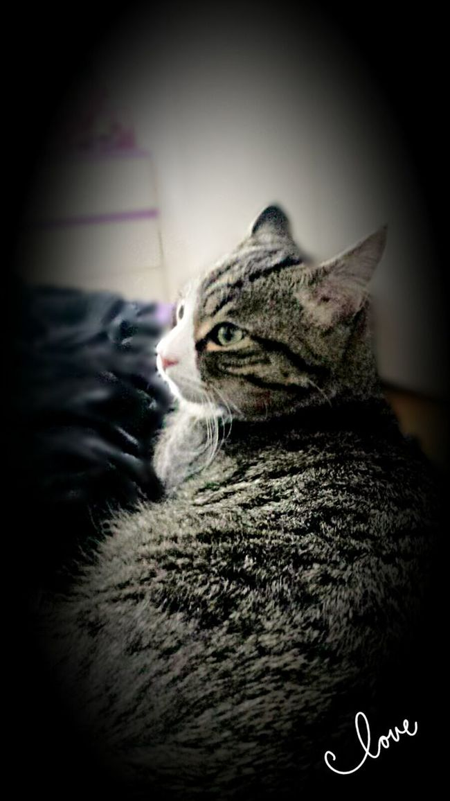 Cat Puorric King City Cat Tiger Love ♥ Haunting  Sight