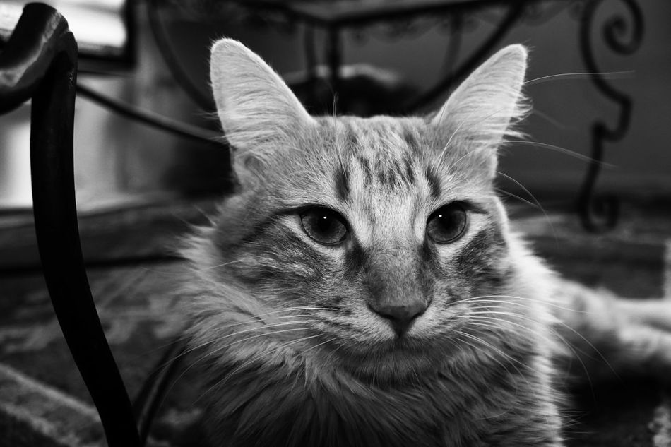 Bestfriend❤ Domestic Cat Animal Themes One Animal Close-up No People Portrait Black & White Black And White Black And White Photography Diver El Masso Hello World ✌ Cat♡ Cats Of EyeEm Focus Object The Word In Black And White