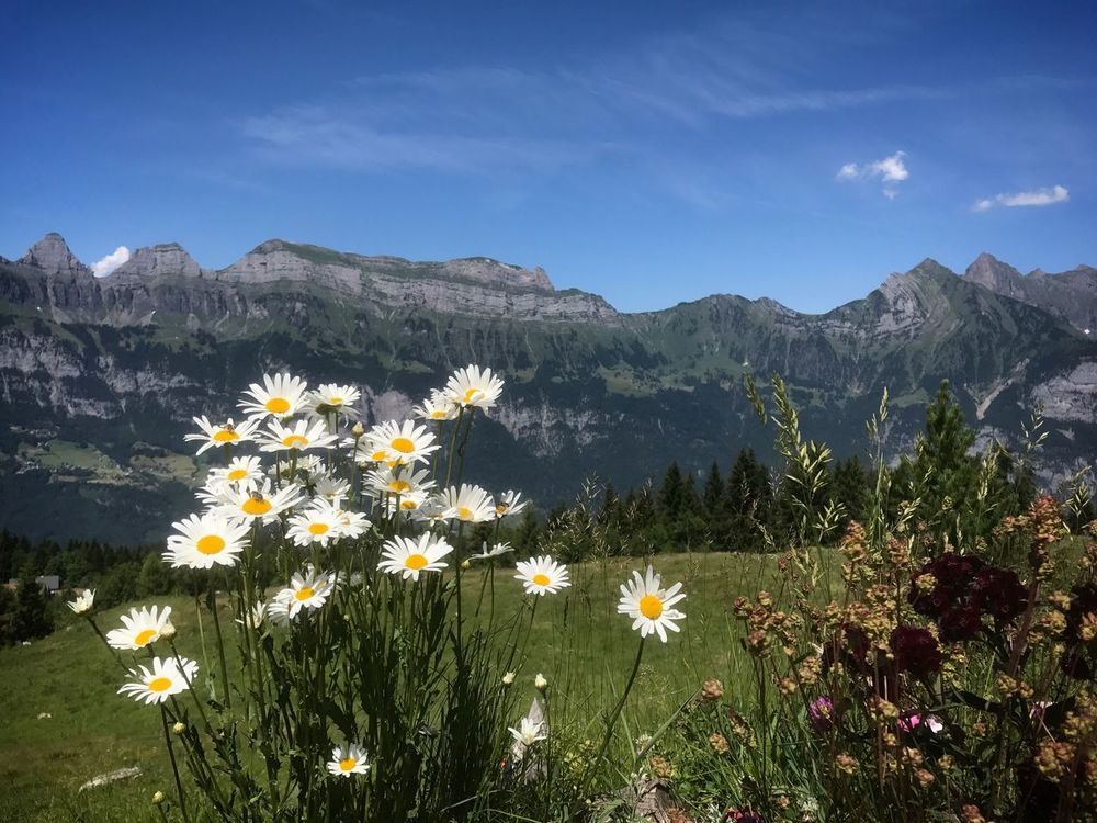 Flower Mountain Nature Growth Beauty In Nature Plant Mountain Range Tranquility Sky No People Day Outdoors Uncultivated Vegetation Scenics Freshness Fragility Blooming Landscape Flumserberg Travel Your Ticket To Europe