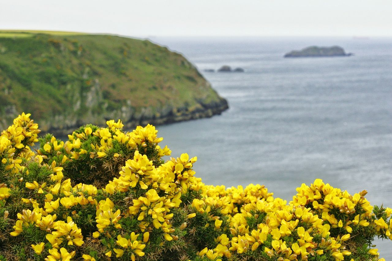Landscape Yellow Flower Cliff Sea Nature Tranquil Scene Tranquility Idyllic Beauty In Nature No People Wales Coastline Pembrokeshire Coast Pembrokeshire Coast Gorse Yellow Gorse Common Gorse