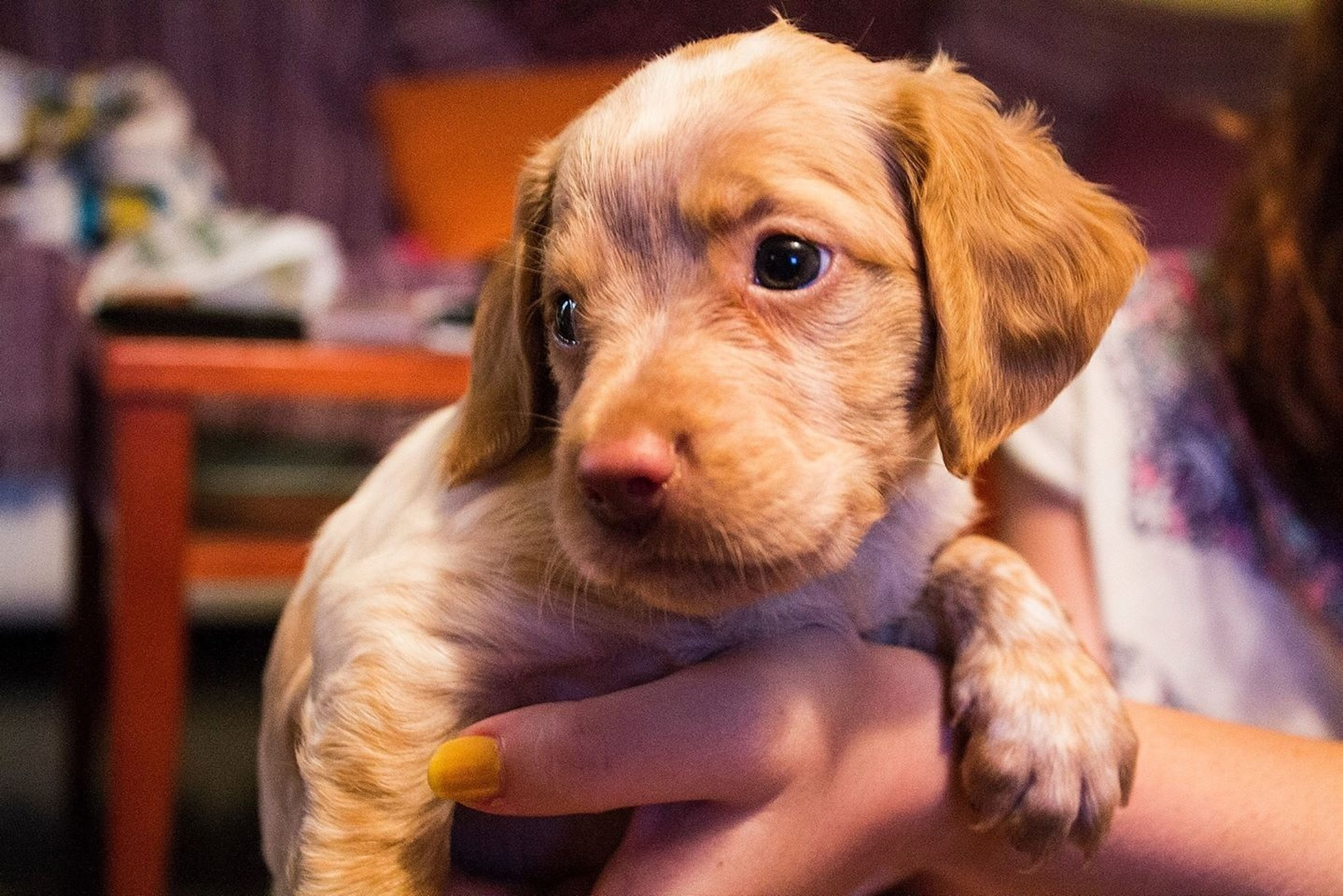 animal themes, one animal, indoors, dog, focus on foreground, pets, domestic animals, close-up, animal head, looking at camera, portrait, mammal, cute, young animal, home interior, front view, looking, holding, animal body part
