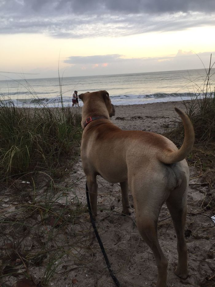 Sea Beach Dog Pets Domestic Animals Horizon Over Water Animal Themes Sand Sky Water Nature Shore Cloud - Sky Mammal One Animal Outdoors Sunrise Good Morning Beauty In Nature Salty Dog Love Her I Love Dogs