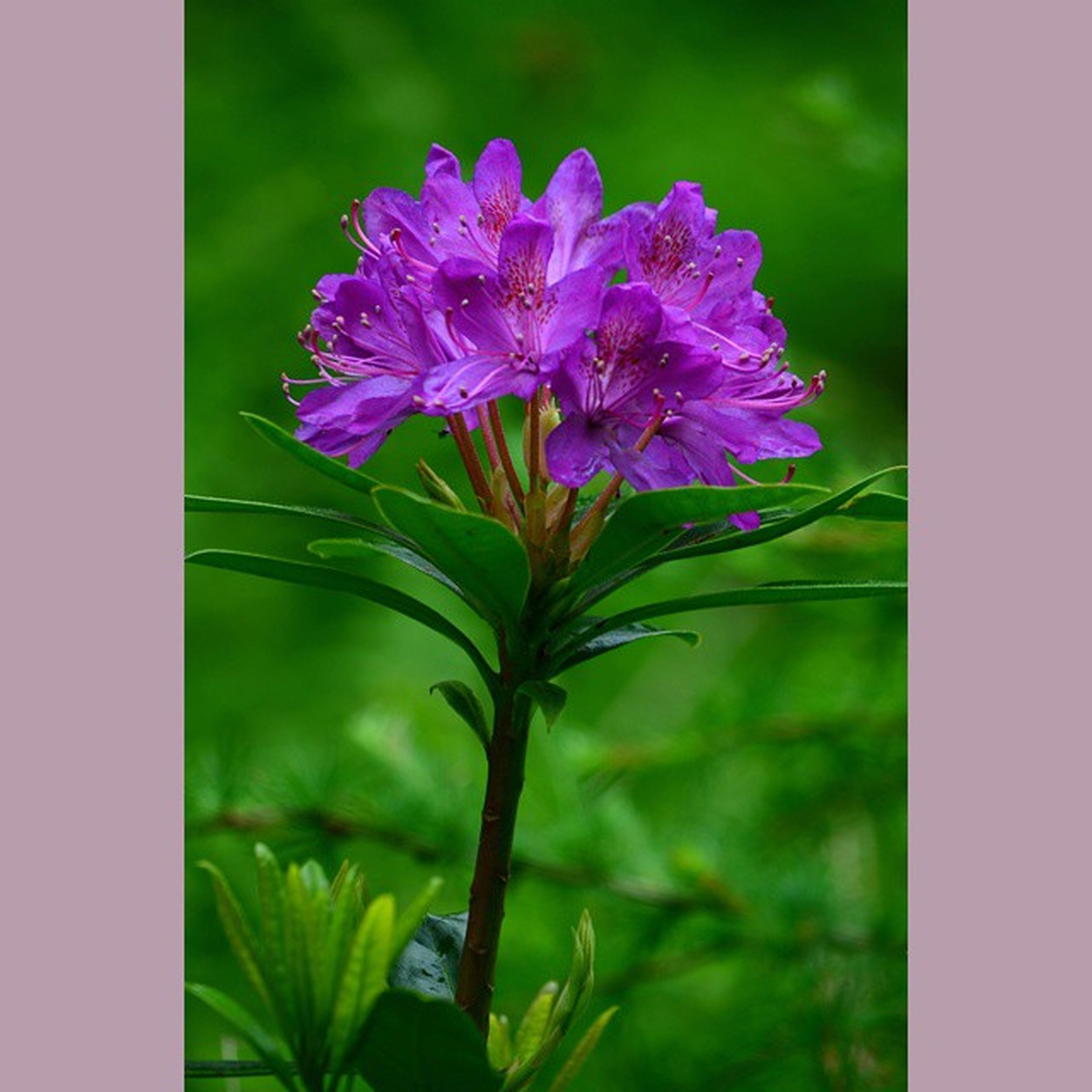 flower, freshness, fragility, growth, purple, beauty in nature, petal, plant, leaf, flower head, stem, nature, close-up, blooming, focus on foreground, pink color, green color, in bloom, day, no people