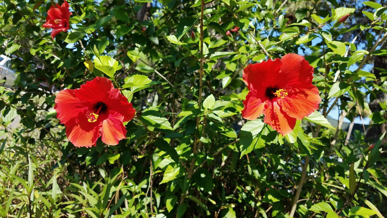 flower, red, growth, nature, beauty in nature, petal, flower head, fragility, freshness, plant, green color, blooming, day, outdoors, no people, hibiscus, close-up