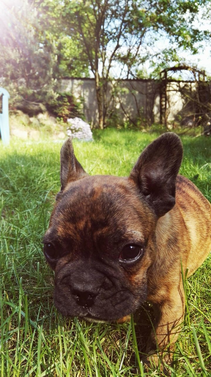 domestic animals, pets, dog, one animal, animal themes, grass, mammal, field, no people, day, outdoors, portrait, looking at camera, nature, close-up