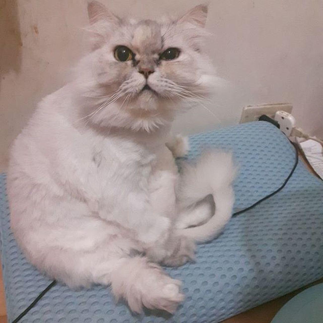 Sesame 變大隻 又是這種坐姿…