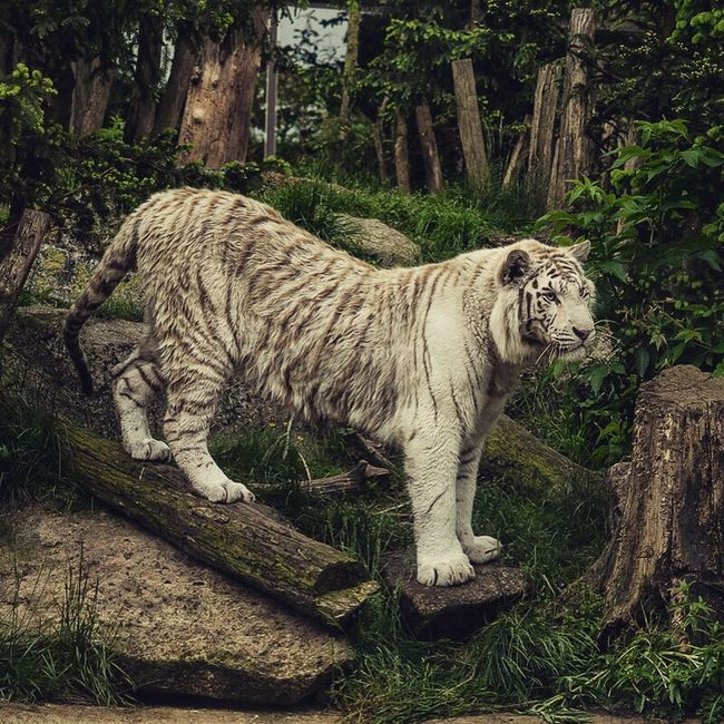 Hi! EyeEm Best Shots - Nature Animal Photo Nature_collection Animal Photography Nature Awesome_nature_shots Nature On Your Doorstep Tiger White