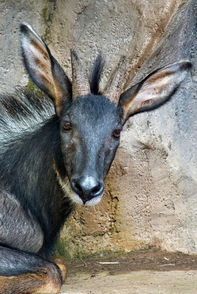 Animal Themes Animal Wildlife Animals In The Wild Close-up Day Looking At Camera Mammal Moose Nature No People One Animal Outdoors Portrait Serow