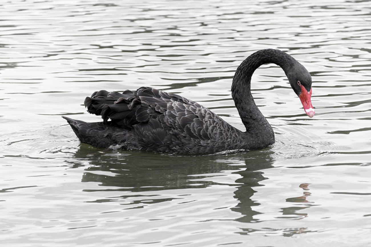 Majestic black swan Animal Animal Photography Animal Themes Animal Wildlife Animals Animals In The Wild Animals In The Wild Bird Bird Photography Birds Black Black Swan Black Swan Black Swans EyeEmNewHere Lake Nature Outdoors Swan Swans Swimming Water
